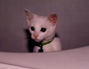 Kimba Kitten