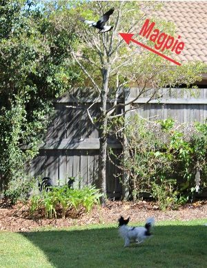 Chasing A Magpie From Her Backyard!
