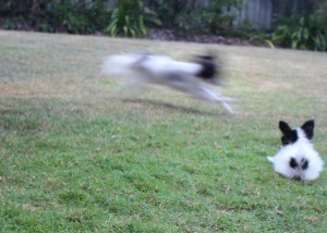 Amber Shows Indy How To Perform Perfect Zoomies!