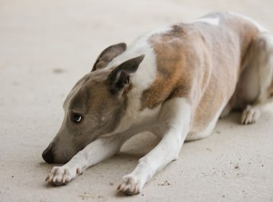 Generally Greyhounds Are Unable To Sit. This Is Why You Usually Only Ever See Them Laying Or Standing.