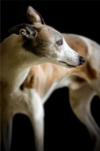 The Greyhound Is The Only Breed Of Dog Mentioned In The Bible. Proverbs 30, Verses 29-31