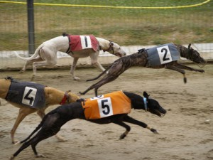 Greyhounds Are The Fastest Breed Of Dog In Existence