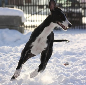 A Greyhound Has Stereoscopic Vision. They Often Do Not See Stationary Objects