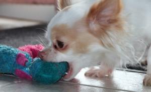 Cheeky Chihuahua!