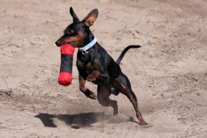 "With Greyhound In Their Ancestry The Tiny ""Min Pin"" Is Quick!"